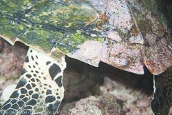 BD-130713-Maldives-0525-Eretmochelys-imbricata-(Linnaeus.-1766)-[Hawksbill-turtle.-Karettsköldpadda].jpg